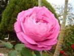 Flores (33)