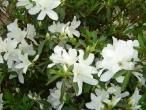 Flores (15)